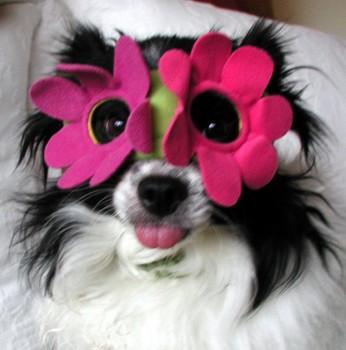 Rocky B. Balboa the dog, world's cutest little Papillon